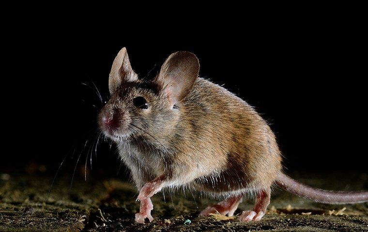 a house mouse crawling in a home at a night