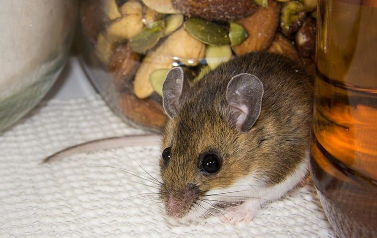 a house mouse resting between two food containers in a sacramento california kitchen pantry