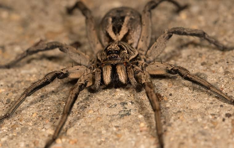 learn more about wolf spiders