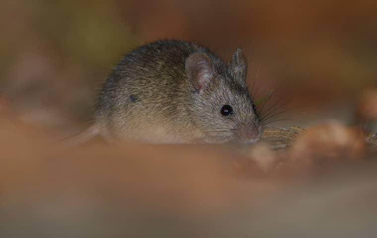 rodent in sacramento home
