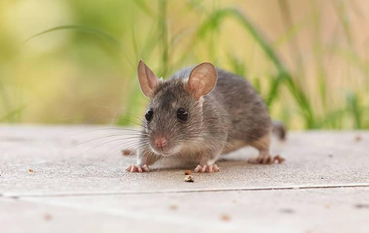 a rodent on the patio of a sacramento home