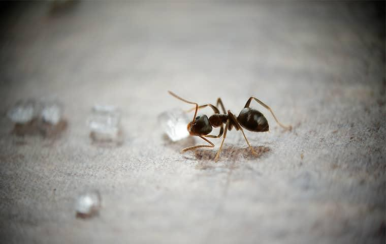a very small but very odorous ant drinking up water droplets on a sacramento counter top