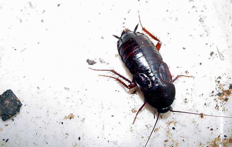 cockroach on a plate