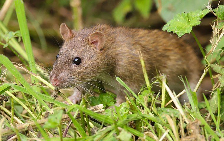 a rat infetstaion on a queen creek property