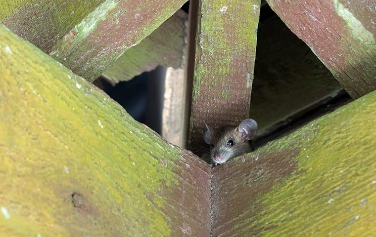 a roof rat hiding in the rafter of a sacramento california home