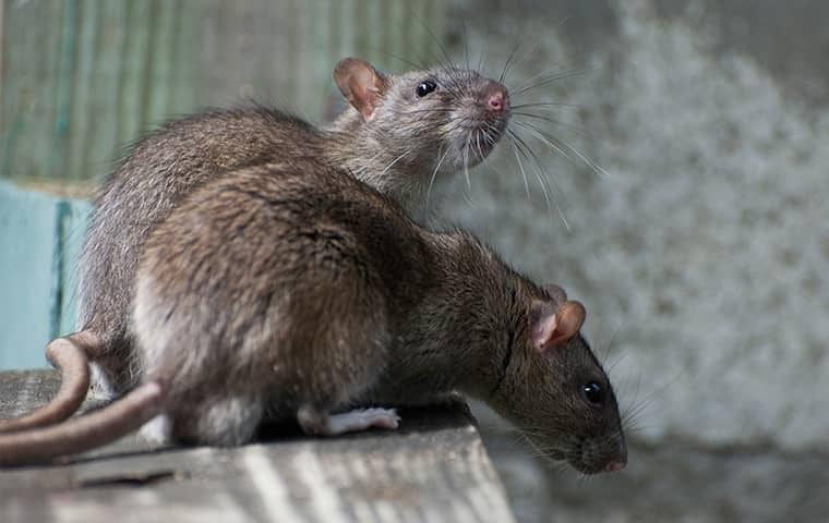 two large brown rats in a roseville california home