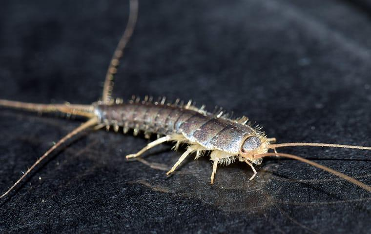silverfish on table