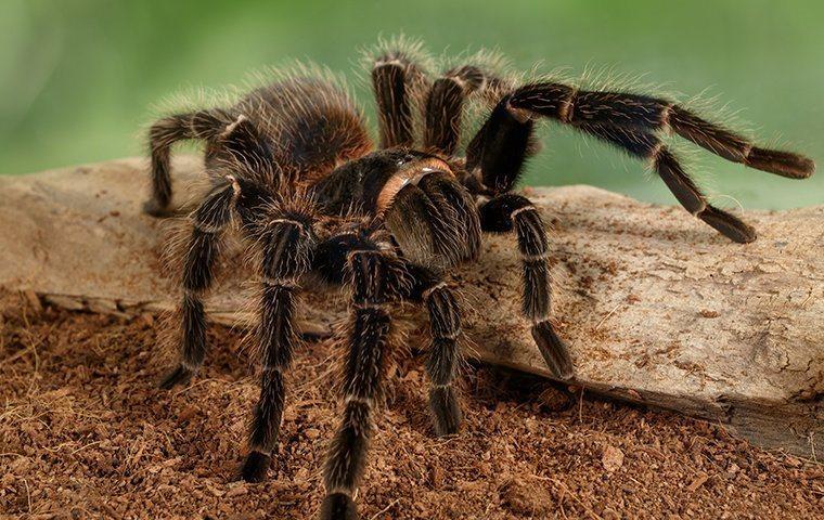 tarantula on a stick