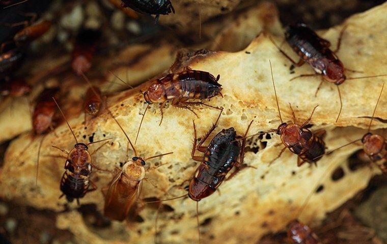 a cluster of turkestan cockroaches crawling on bread