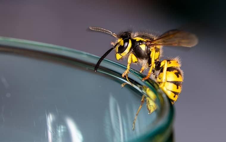 a black and yellow wasp balancing along the edge of a glass of water in a sacramento home