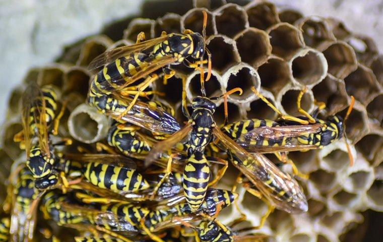 wasps on their nests
