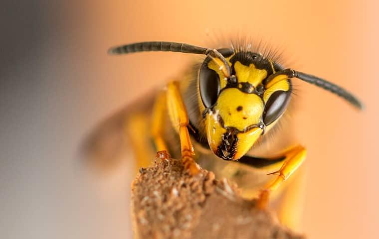a yellow jacket facing a sacramento resident face on as it protects its nest
