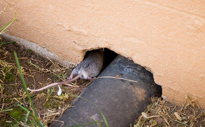 rodent entering home