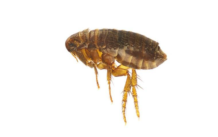 a cat flea on a white background