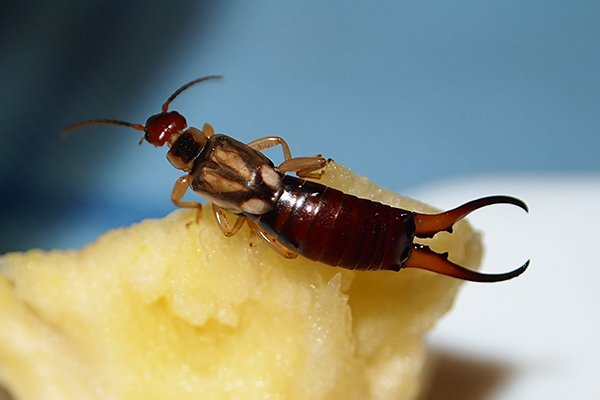 earwig on an apple