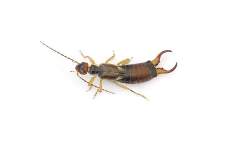 an earwig on a white background with pincers open