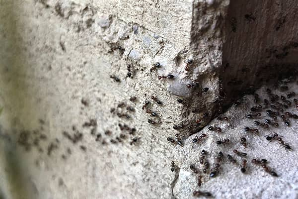 ants crawling on home in california