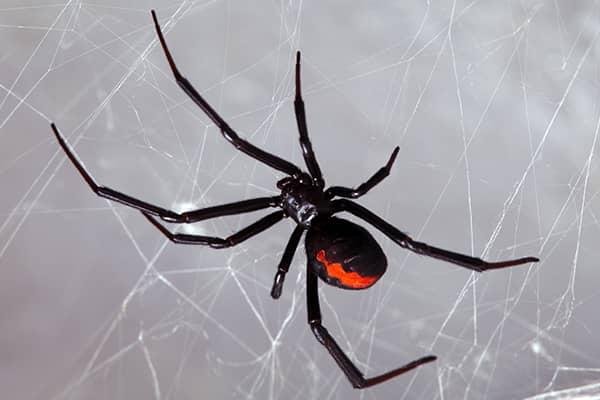 black widow spider in web