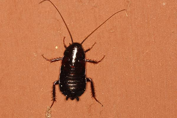 oriental cockroach in home