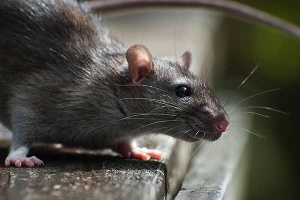 close up of a roof rat on a sacramento rooftop