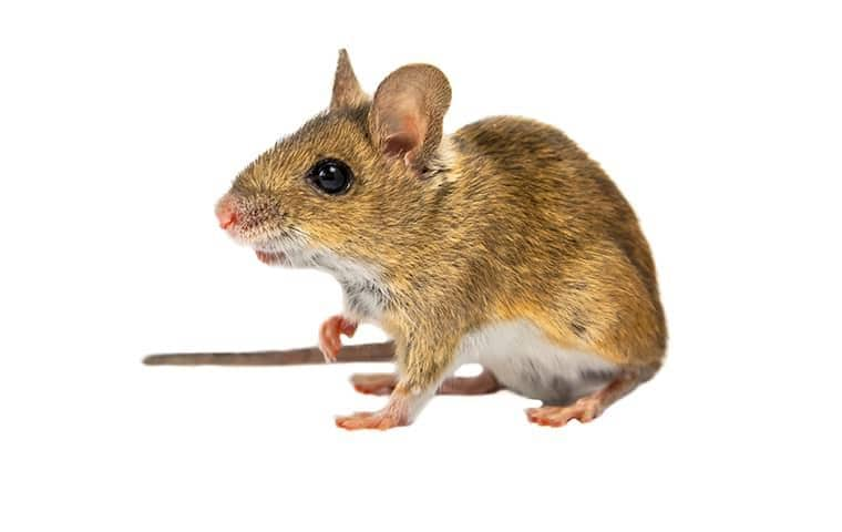 a field mouse on a white background