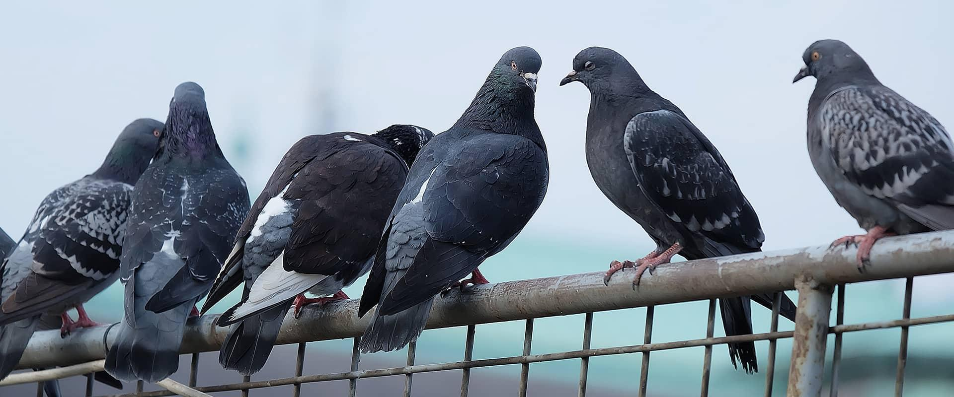 pigeons flocking on a building in auburn california