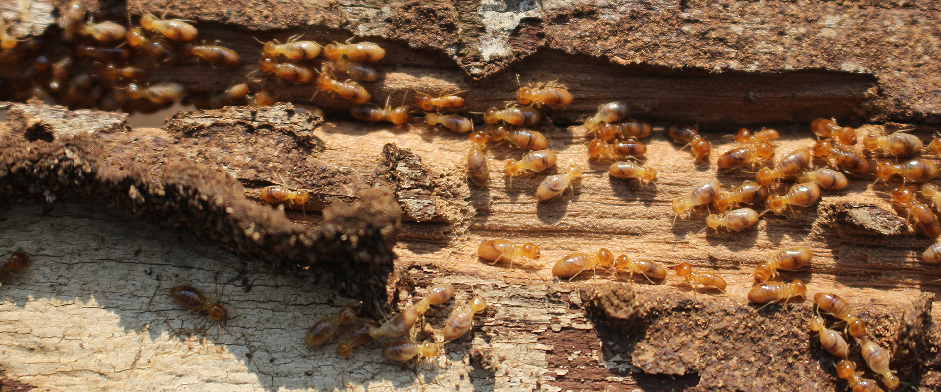 termites on a rotting piece of wood