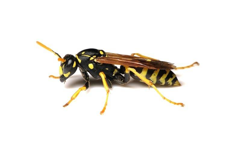 a black and yellow paper wasp on a white background