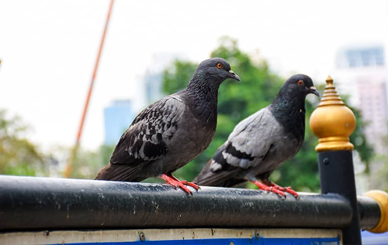 pigeons outside of a home in granite bay california