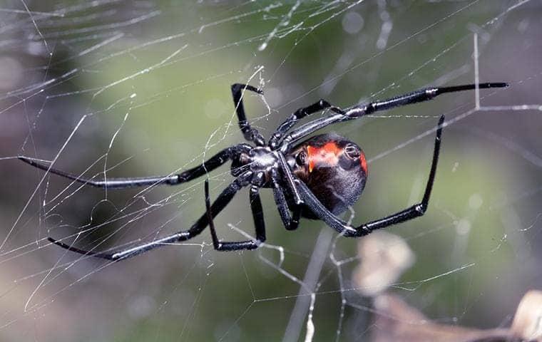 a black widow spider on a web outside a sacramento california home