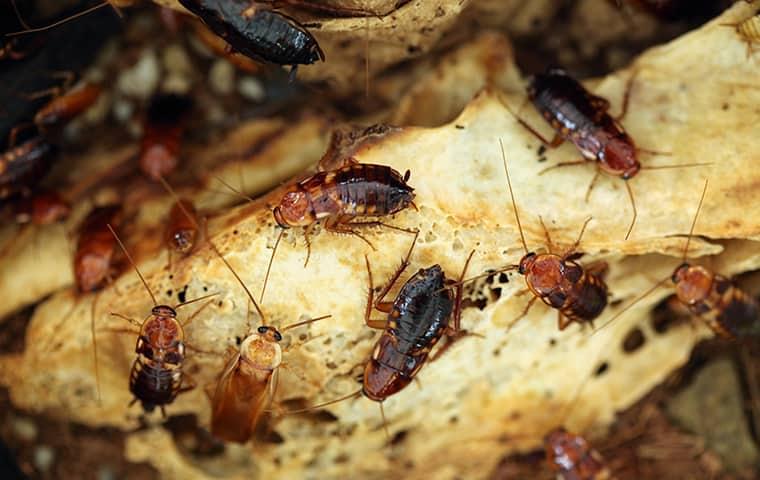 turkestan cockroaches crawling on rotten food inside of an el dorado hills home