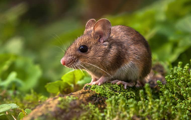 a brown field mouse on a lawn in california