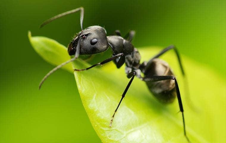 a black ant resting on a leaf in sacramento california