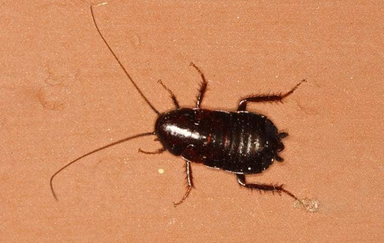 oriental cockroach crawling on the floor of an el dorado hills home