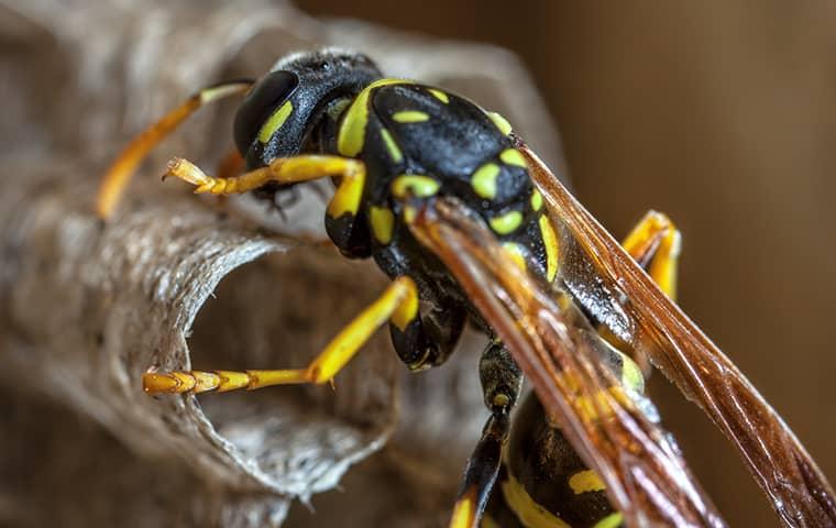 a paper wasp building a nest at a california home