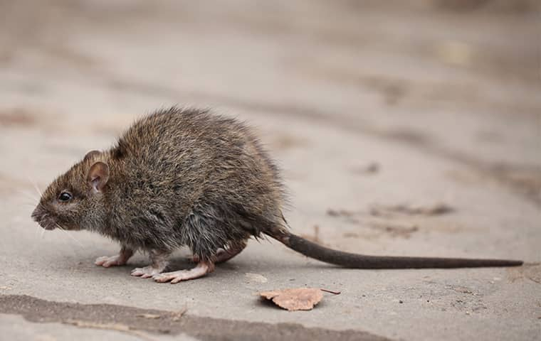 a roof rat outside a roseville california home