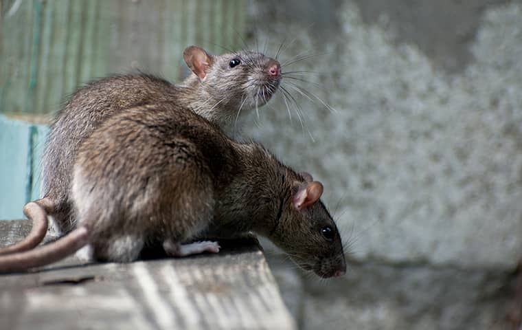 rats on a surface inside of a home in sacramento california