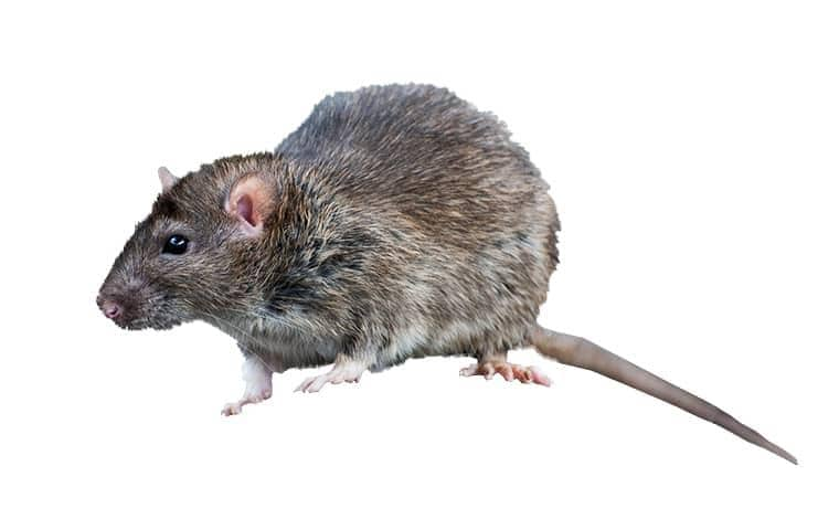 a roof rat on a white background