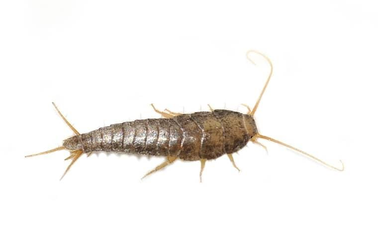 a silverfish on a white background
