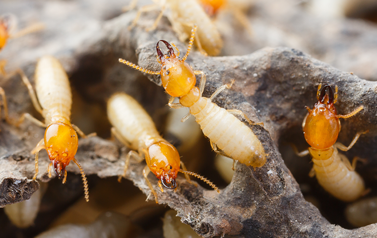 swarm of termites closeup