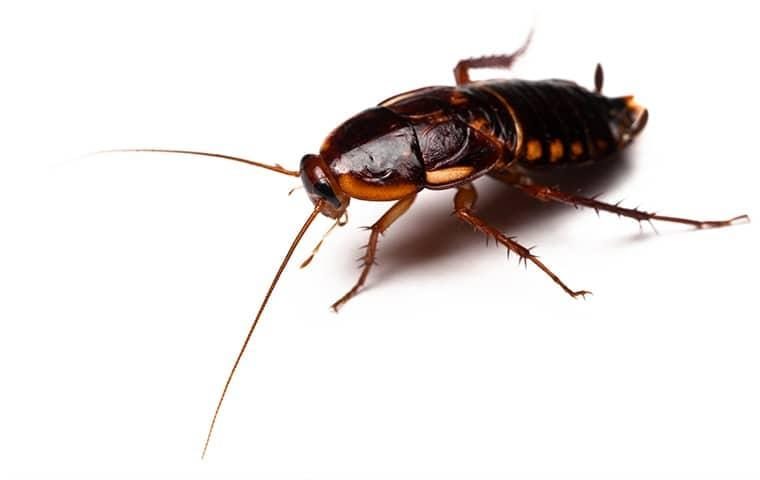 isolated image of turkestan cockroach