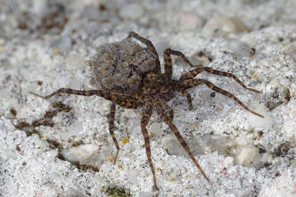 wolf spider on the ground in sacramento