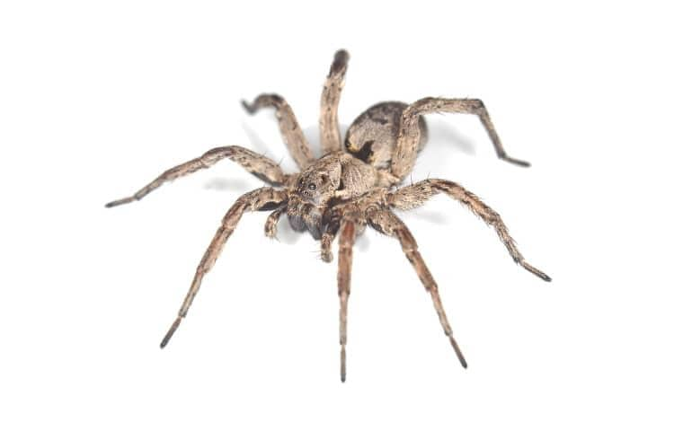 a wolf spider on a white background