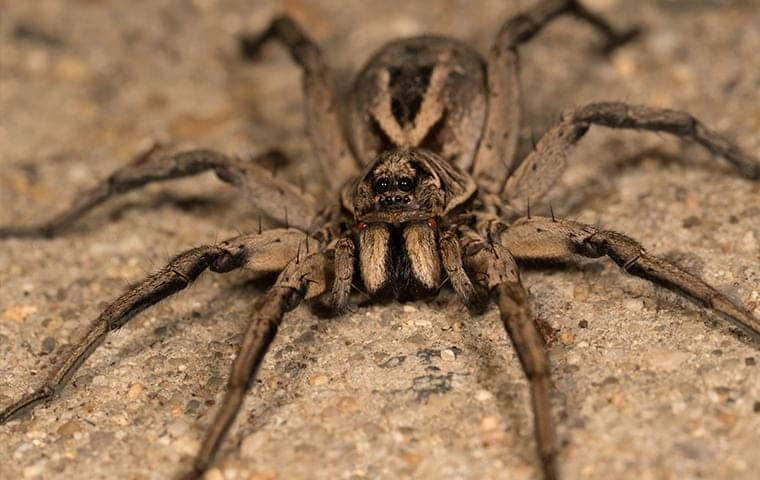 a wolf spider on the ground on a california residential property