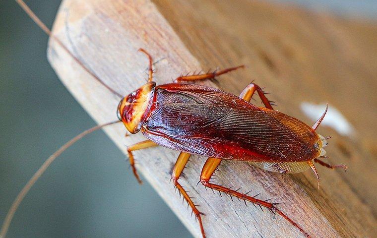 an american cockroach crawling on a board