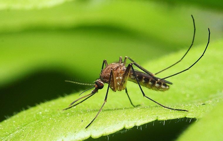 an adult mosquito on a leaf