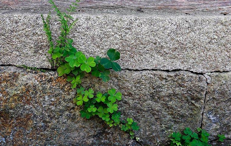 weeds in the cracks of a foundation