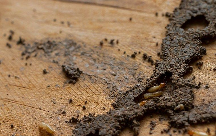 termites in a mud tube