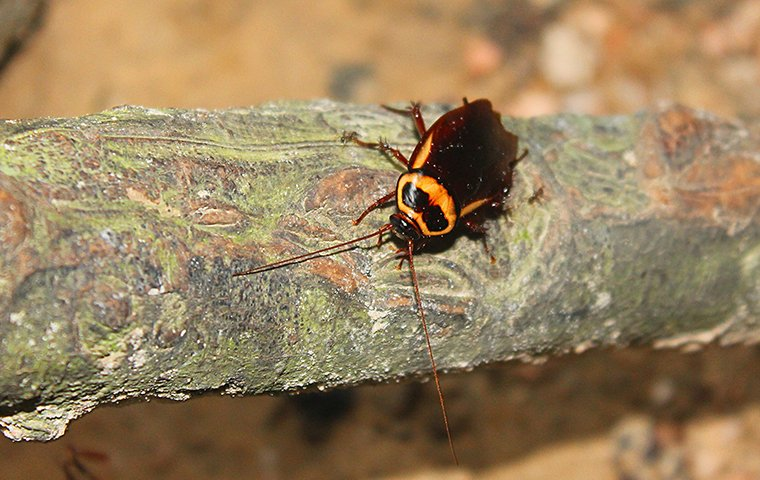 an american cockroach on a tree branch