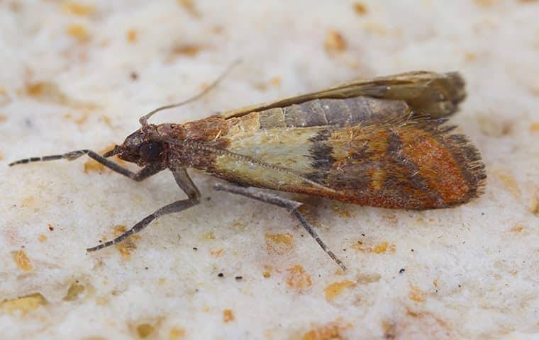 an indian meal moth in a pantry